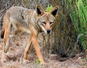 Walking Coyote